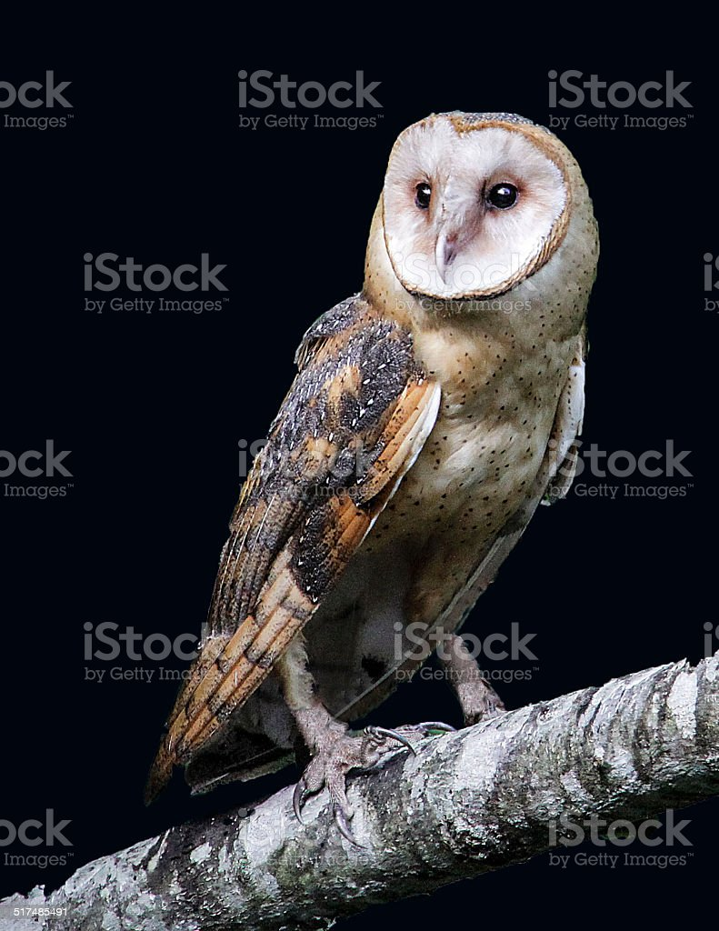 Barn Owl Portrait stock photo