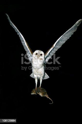 istock Barn Owl Predatory Nocturnal hunter 108125684
