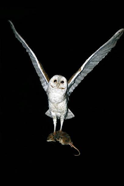 Barn Owl Predatory Nocturnal hunter stock photo