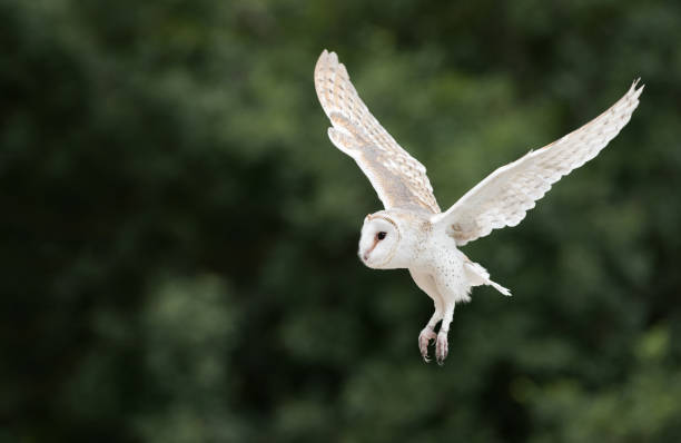 Barn owl schleiereule in flight picture id913828514?b=1&k=6&m=913828514&s=612x612&w=0&h=rkw3uaqdnkg sjmwecohwjicpq5oaahbr7w9bo0et40=
