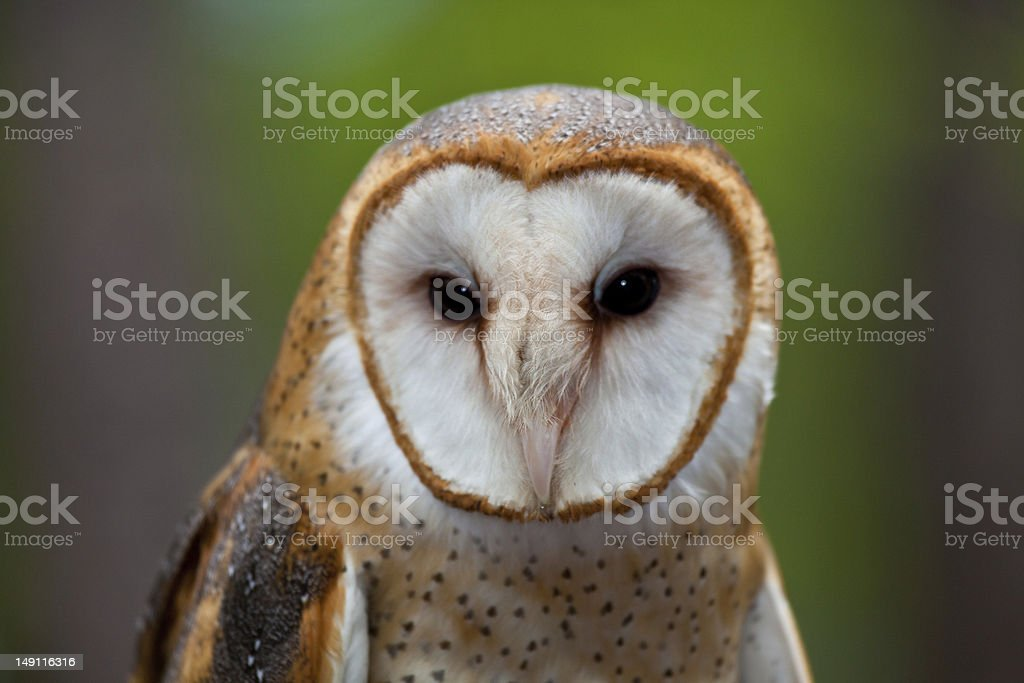 Barn Owl Searching royalty-free stock photo