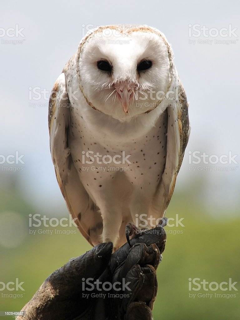 Barn owl sits on its owner's hand royalty-free stock photo
