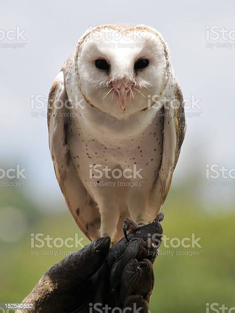 Barn owl sits on its owners hand picture id152540532?b=1&k=6&m=152540532&s=612x612&h=5r2mfo1xy3r0seusrdypelfikx2h3vvgykm9o3glogg=