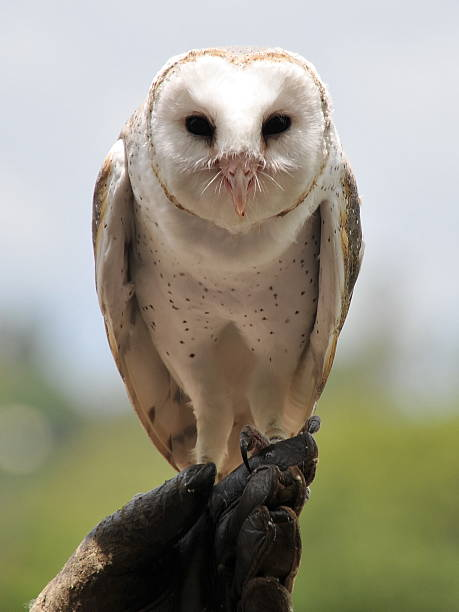 Barn owl sits on its owner's hand stock photo
