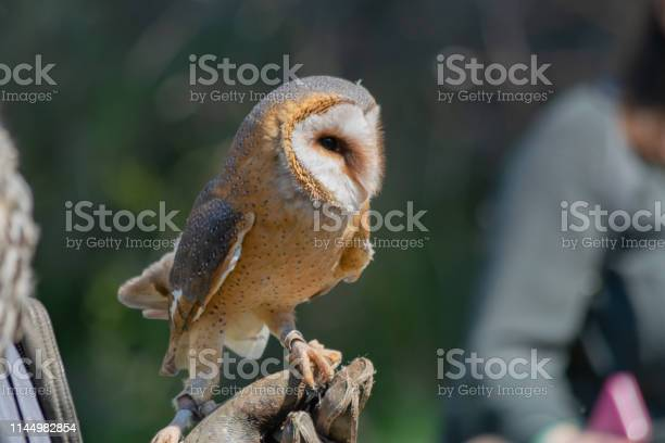Barn owl sitting on glove during show training birds concept picture id1144982854?b=1&k=6&m=1144982854&s=612x612&h=bl546guvicnkh2erle29cbtgnxxxbm2w9vgyyo1ikd8=