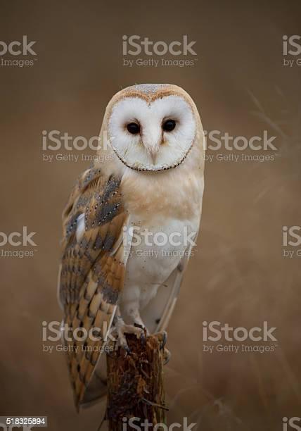 Barn owl sitting on perch picture id518325894?b=1&k=6&m=518325894&s=612x612&h=9vy3gn6p01scwhc4ujucqzaeqdp3uyrfo z8xkzo7se=
