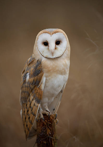 Barn owl sitting on perch picture id518325894?b=1&k=6&m=518325894&s=612x612&w=0&h=cikwbwlvlmtmkummfibqsfubhnc2wzh2vjfoydrbyma=