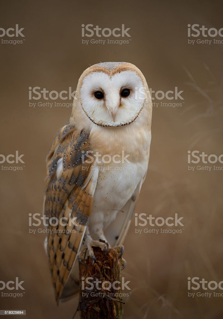 Barn owl sitting on perch stock photo
