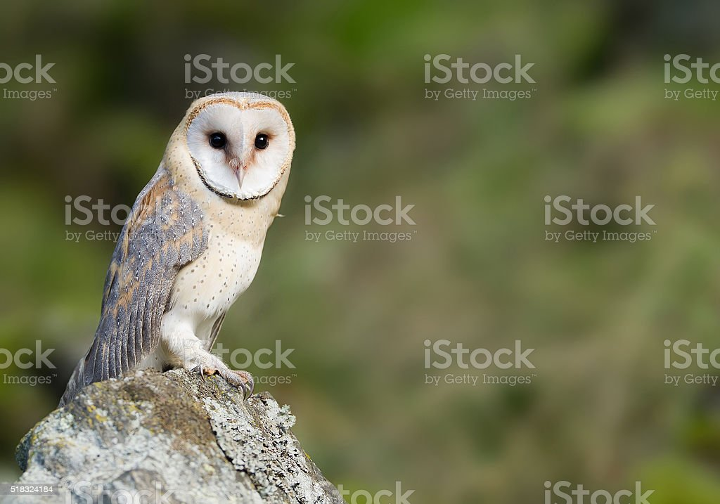 Barn owl sitting on the rock stock photo