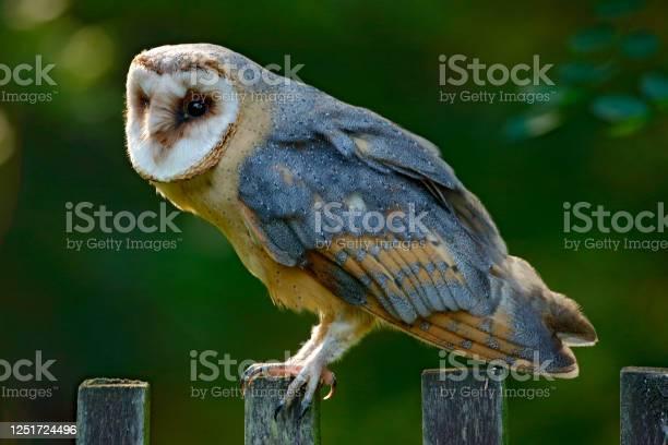 Photo of Barn owl sitting on wooden fence with dark green background, bird in habitat, Czech republic, Central Europe. Urban wildlife. Owl in the garden.
