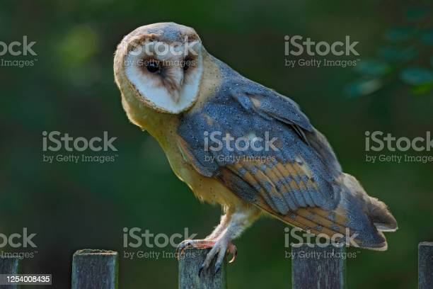 Photo of Barn owl sitting on wooden fence with dark green background, bird in habitat, Czech republic, Central Europe