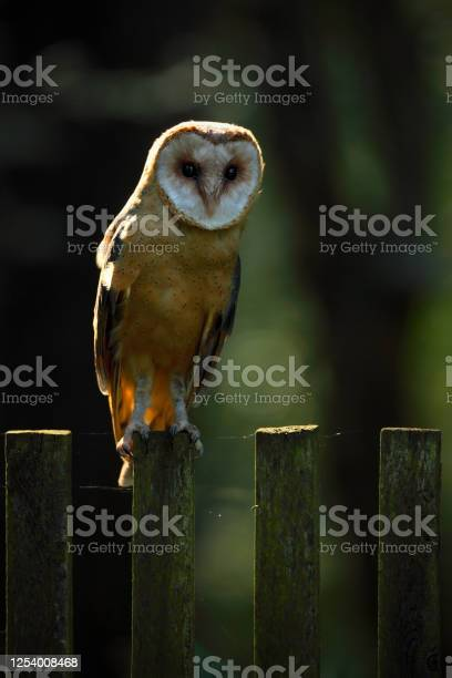 Photo of Barn owl sitting on wooden fence with dark green background, bird in habitat, Slovakia, Central Europe
