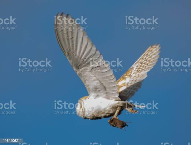 Barn owl taking prey back to the nest picture id1164406211?b=1&k=6&m=1164406211&s=612x612&h=iejktif22davqusqpav2nmsndjpt qmh1kd3l0jmshw=
