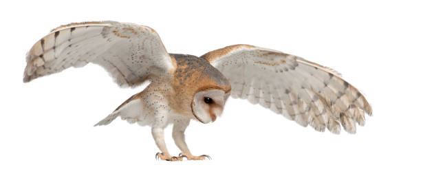 Barn owl tyto alba 4 months old flying against white background picture id823752338?b=1&k=6&m=823752338&s=612x612&w=0&h=gxlwt27pipvt48p2gzm irl12ju k0yje5cf1x7f8ty=