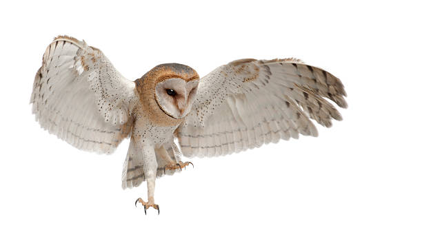 barn owl, tyto alba, 4 months old, flying - owl stock photos and pictures