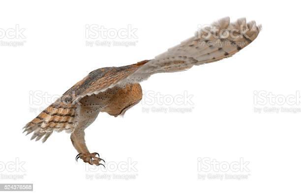 Barn owl tyto alba 4 months old flying picture id524376568?b=1&k=6&m=524376568&s=612x612&h=aha4ndv0l4sdtd2hrwfdagdja3hmtmykvjcnawj9mc4=