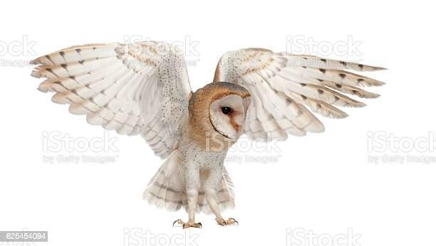 Barn owl tyto alba 4 months old flying picture id625454094?b=1&k=6&m=625454094&s=612x612&h=w5qmwgk hwlfi67iiprqe4vzchis2cqwbv5owabb4n0=