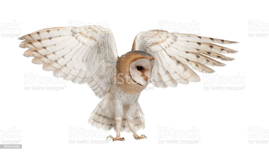 Barn Owl, Tyto alba, 4 months old, flying stock photo