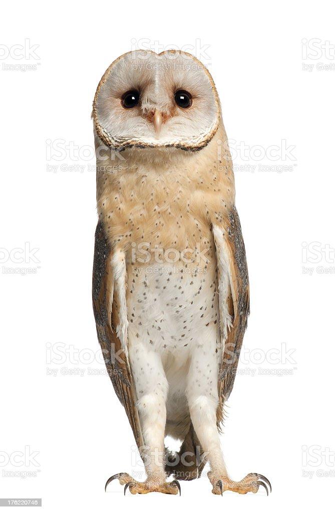 Barn Owl, Tyto alba, 4 months old stock photo