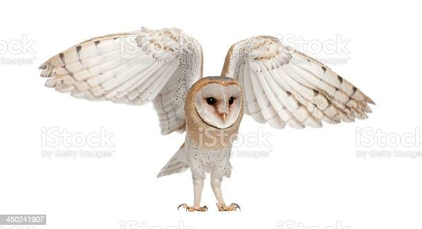 Barn owl tyto alba 4 months old picture id450241907?b=1&k=6&m=450241907&s=612x612&h= 1pvyjoaj3ngzulwqt7g8shjvtydys4yik9eetl6fus=