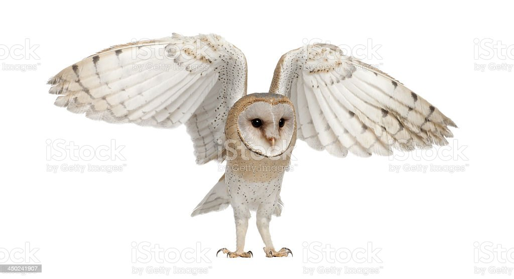 Barn Owl, Tyto alba, 4 months old stock photo