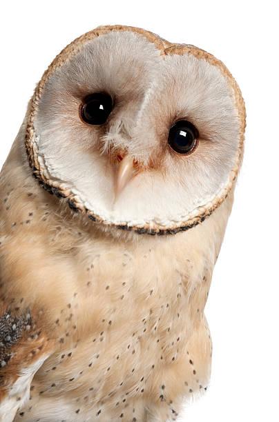 Barn owl tyto alba 4 months old picture id450241961?b=1&k=6&m=450241961&s=612x612&w=0&h=jyx66prydxizzzl e03vkwh7nc0kyn yusyzqzecxku=