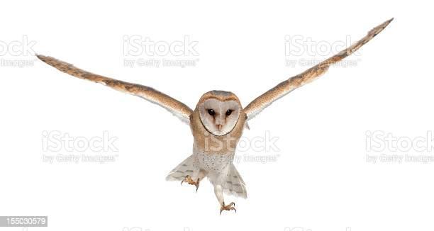 Barn owl tyto alba 4 months old portrait flying picture id155030579?b=1&k=6&m=155030579&s=612x612&h=62yecd7mltwnhwzhjlzwe7us9v0ccywbqxpy9lrsjmu=