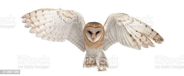 Barn owl tyto alba 4 months old portrait flying picture id510697380?b=1&k=6&m=510697380&s=612x612&h=zn5mw9kcbex4oompof qkmayezd3sxsynfok2pxtj3k=