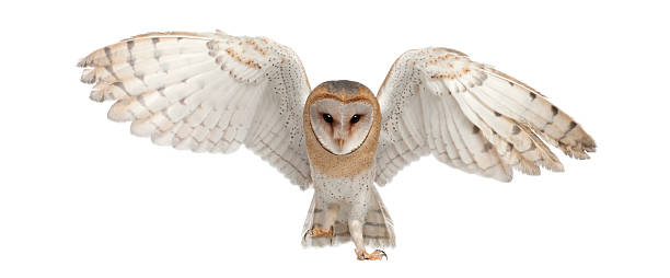 barn owl, tyto alba, 4 months old, portrait flying - owl stock photos and pictures