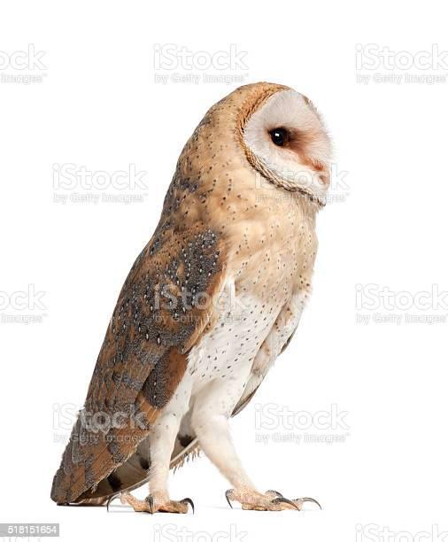 Barn owl tyto alba 4 months old standing picture id518151654?b=1&k=6&m=518151654&s=612x612&h=2axyyamvskogahmswwa01y1h6glvzxxsadogmx67v80=