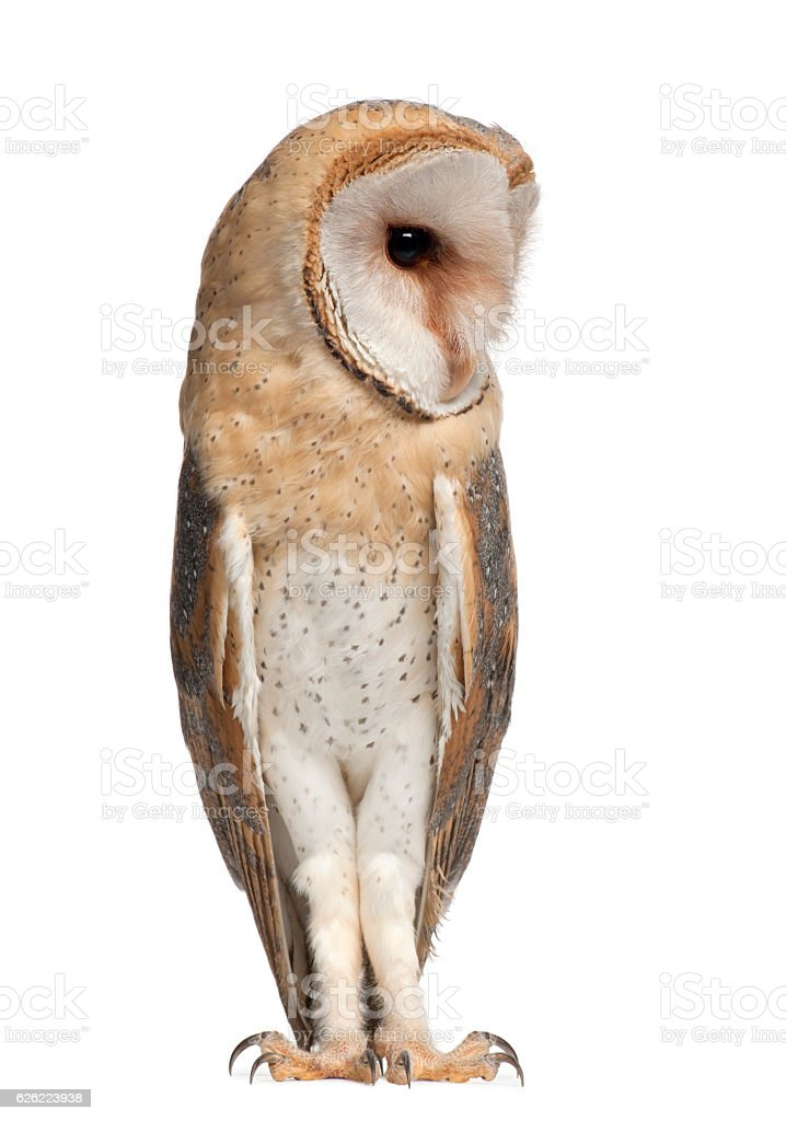 Barn Owl, Tyto alba, 4 months old, standing stock photo