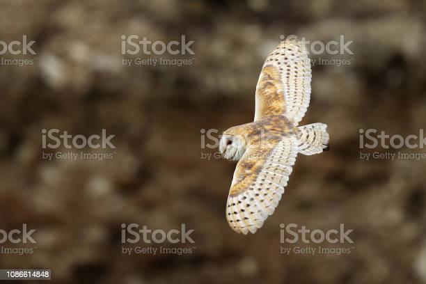 Barn owl tyto alba flight abovestones in the morning wildlife bird picture id1086614848?b=1&k=6&m=1086614848&s=612x612&h=bxd5l 2hxvkqrvz4iovaapnrzzmr0pfgmxpambcpovs=
