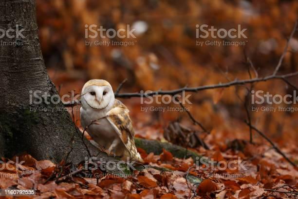 Barn owl tyto alba in autumn forest near tree picture id1160792535?b=1&k=6&m=1160792535&s=612x612&h=mzjqtj1k8erlkurfvl0grribwfd1xm5vn6c6hdiqesi=