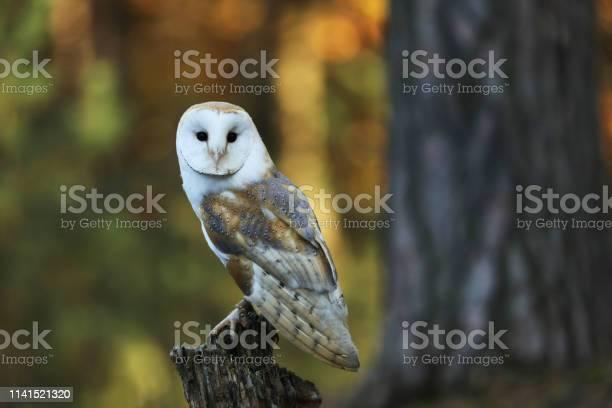 Barn owl tyto alba on stump in forest picture id1141521320?b=1&k=6&m=1141521320&s=612x612&h=yigpqv5wlsl6dgdu3vovaoul0eztk9xxup010y05ep8=