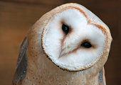 vector Indiana - American state word with barn owl (tyto alba)