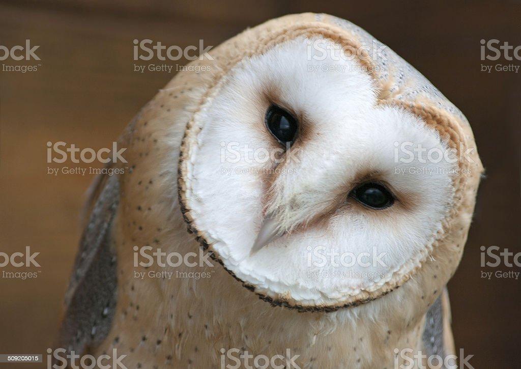 Barn Owl, Tyto alba, stock photo