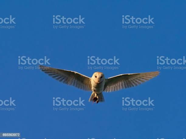 Barn owl tyto alba picture id693363972?b=1&k=6&m=693363972&s=612x612&h=5st tglanacc 2qryjwmrfxxzul0uhczt2j qzmpeyy=