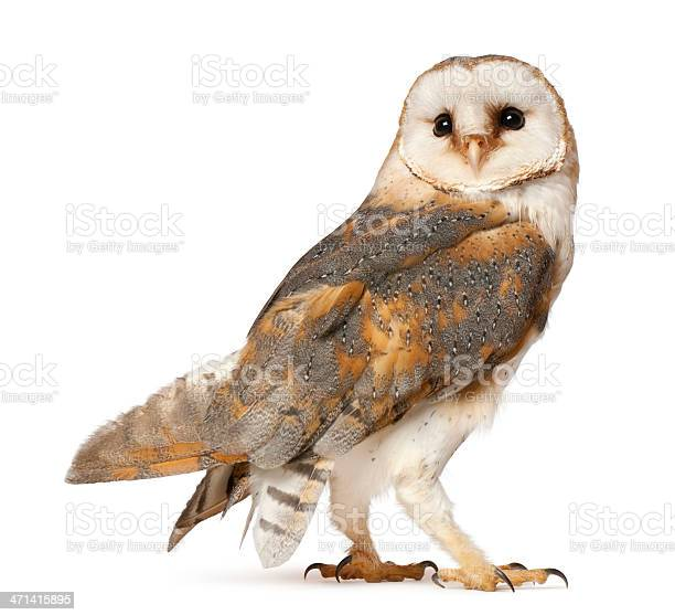 Barn owl tyto alba standing in front of white background picture id471415895?b=1&k=6&m=471415895&s=612x612&h=35v1cjwhwcawnu5pilatdlg05ibm y9yhnnm xq up8=