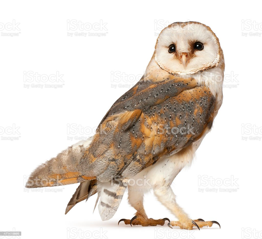 Barn Owl, Tyto alba, standing in front of white background stock photo