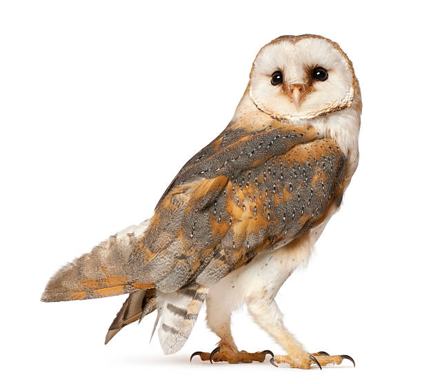 barn owl, tyto alba, standing in front of white background - uil stockfoto's en -beelden