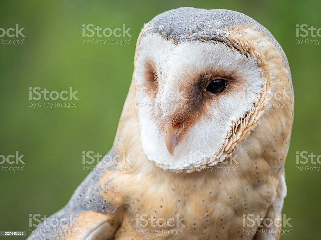 Barn owl up portrait (Tyto alba) stock photo