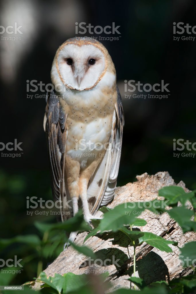 Barn owl watching from log in the woods stock photo