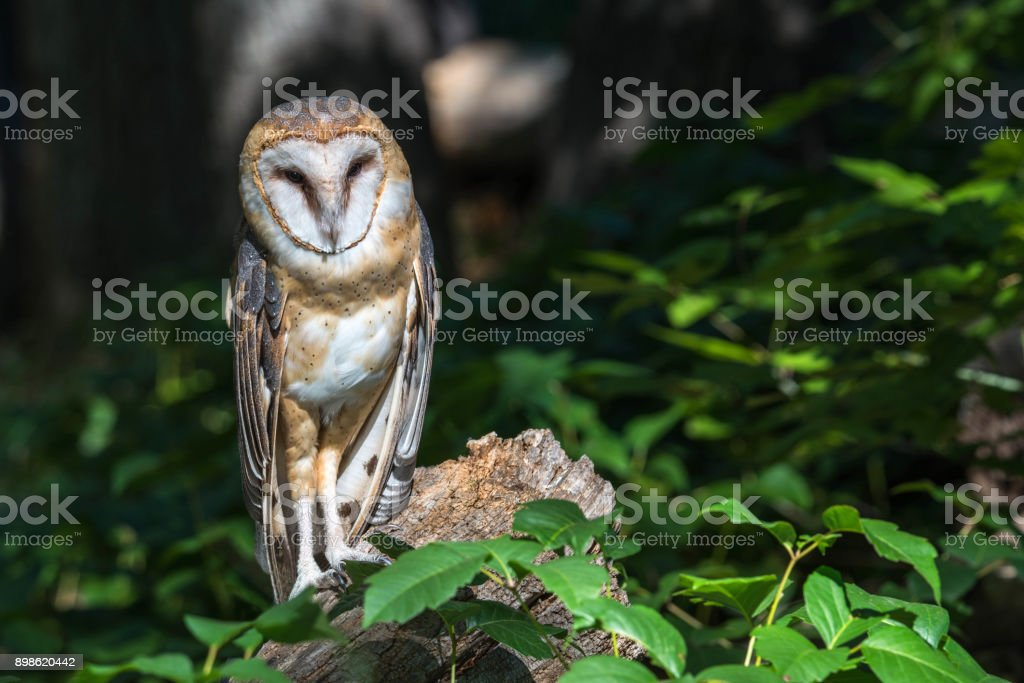 Barn owl watching from log in woods stock photo