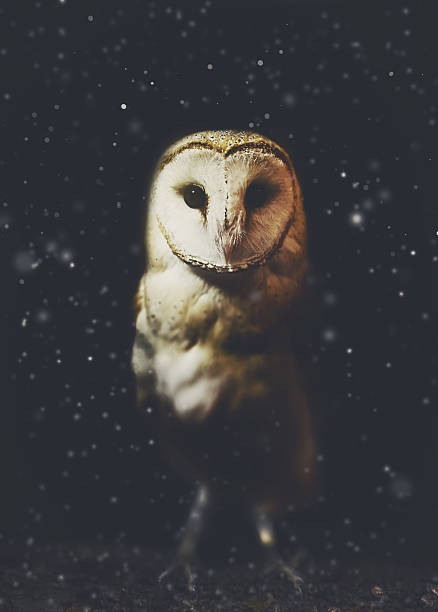 barn owl winter portrait with snow background - owl stock photos and pictures