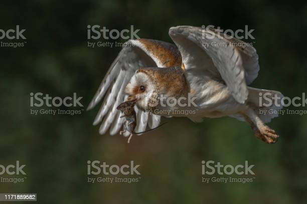 Barn owl with a prey picture id1171889582?b=1&k=6&m=1171889582&s=612x612&h=tkisfioyvveu3nsuxc9vo7n5bk1e9bbbsl72f8yd4zm=
