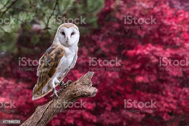 Barn owl with fall follage picture id477896233?b=1&k=6&m=477896233&s=612x612&h=bgtnvqv0szdzwuwzcpux6liozwi0zbaf4ev6udhyrqq=