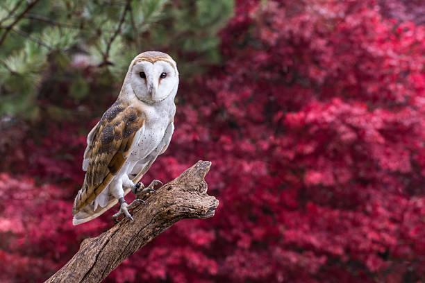 Barn owl with fall follage picture id477896233?b=1&k=6&m=477896233&s=612x612&w=0&h=ue4ku6hplhckqb8hb6xx0u1jtbo3z6bmjpabswhz61c=