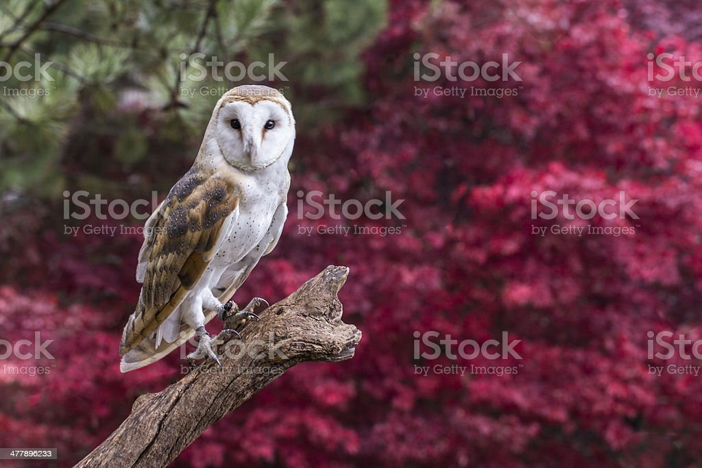 Barn Owl with Fall Follage stock photo