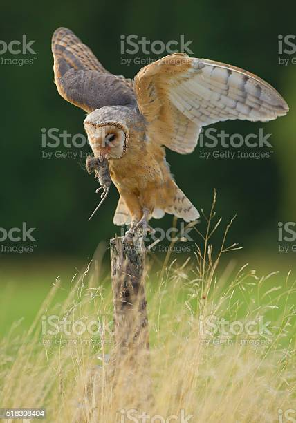 Barn owl with open wings and mouse prey picture id518308404?b=1&k=6&m=518308404&s=612x612&h=mlkqva w9vf8m lhi4pozv7z8m80y8dmhkxm 1cz3 0=