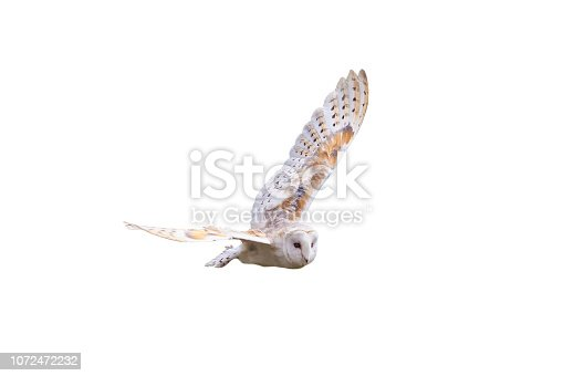 Barn Owl with spread wings flying cut out and isolated on a white background